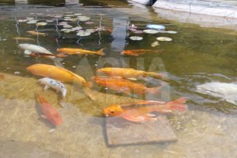 зарыбление пруда декоративной рыбой